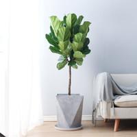 平安树 高杆栀子花 中大型绿植花卉 办公室庭院养植 美观易打理 琴叶榕粗壮干1米