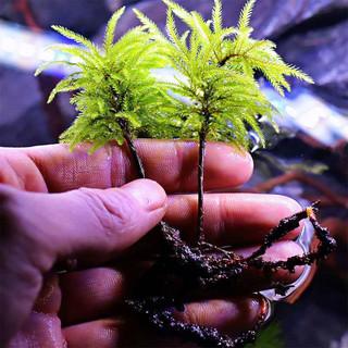 捣蛋鬼 万年藓水草活体耐活耐低温苔藓鱼缸水族箱生态瓶雨淋缸造景活水草 万年藓3颗(新鲜发货)