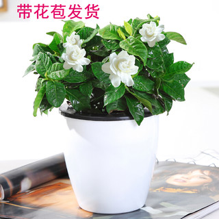 玖枝苑 栀子花盆栽 室内花卉桌面土培绿植办公室内 水培栀子花植物
