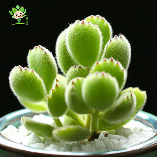 忆秋 多肉植物熊童子赠送陶瓷花盆群生多肉植物