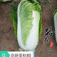 白菜籽蔬菜山东白菜种孑  3克