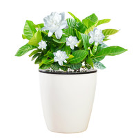 红豆 水培盆栽 含盆带花苞