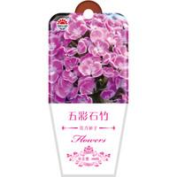 京东PLUS会员 : DS 北京东升种业 花卉种子 五彩石竹 100粒 *3件