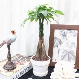 花七休 编辫发财树 白色印花陶瓷套盆 花卉绿植盆栽 室内居家桌面阳台办公室绿植