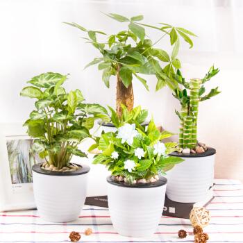 Hodo 红豆 栀子花盆栽