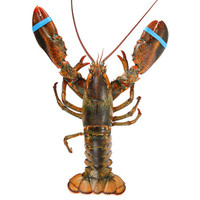 GFRESH 极鲜 加拿大龙虾(波士顿龙虾) (1-1.1kg)