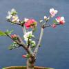 乐美君  室内盆栽日本海棠花苗 22元