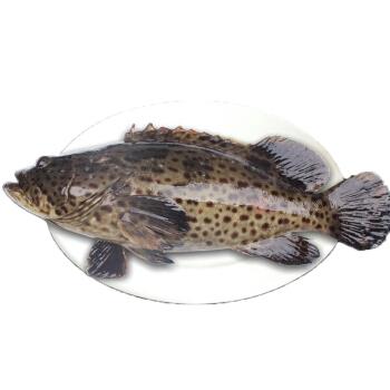 皇港世家 海南冰鲜青石斑鱼 600g