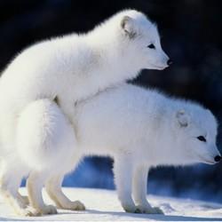 宠物雪狐幼崽 3个月 1只