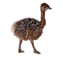 宠物非洲鸵鸟苗 1月龄