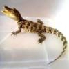 小泰鳄 30cm 体长可达3m