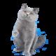 宠物活体:英国短毛猫 蓝猫 60天左右 1080元