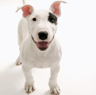 牛头梗犬  幼犬 白色 母