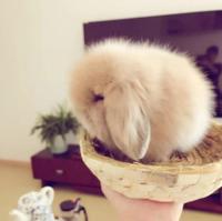 垂耳兔 咖啡色