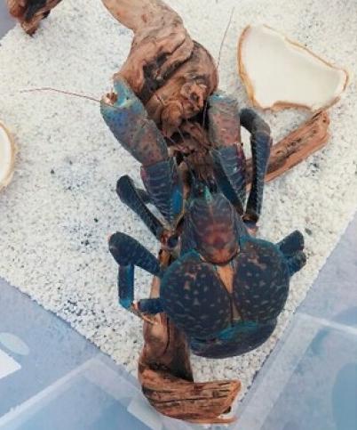 陆地淡水观赏宠物 椰子蟹 6斤以上