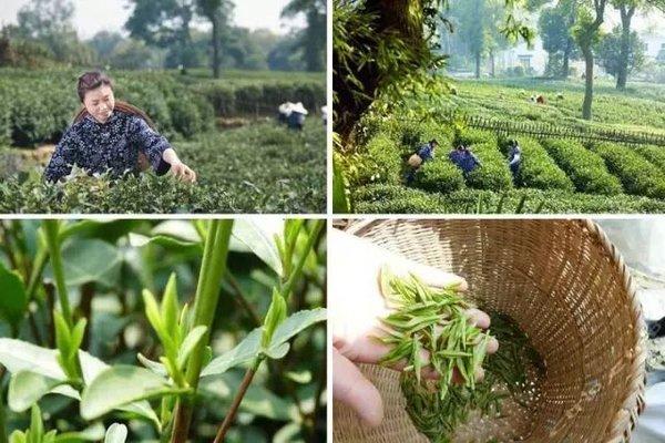 周末不涨价 杭州龙井村里一庄园 品茶、逛茶园、还有龙井知识课堂和萌宠喂养