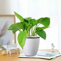 MAYSTORY 梅芝 水培植物 2款可选