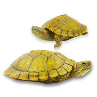 宠物活体 易萌 活体乌龟 黄金巴西龟  5-7cm两只