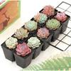 卉吉 多肉植物组合 随机10颗 含10套小黑方+营养土  8.9元包邮(需用券)
