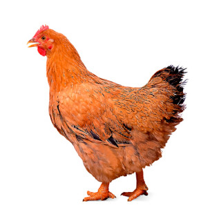 WENS 温氏 供港黄油鸡 1kg