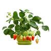 SHENGRUI 晟睿 阳台盆栽草莓苗 6棵草莓苗+6个盆套餐 8.5元包邮