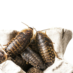 Rep-Shop 杜比亚蟑螂 活体饲料 3-4cm 100g 70-80只