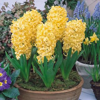 世纪奥桥 进口风信子种球 玻璃瓶水培套装 吉普赛公主 黄色