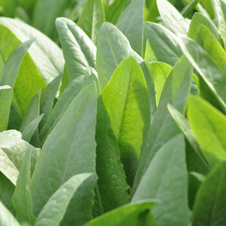 勿忘农纯香油麦菜种子四季蔬菜阳台庭院种植300粒/袋