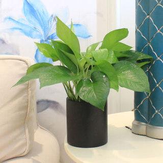 花七休 青叶绿萝 黑陶花盆 花卉绿植盆栽 室内居家桌面阳台办公室绿植