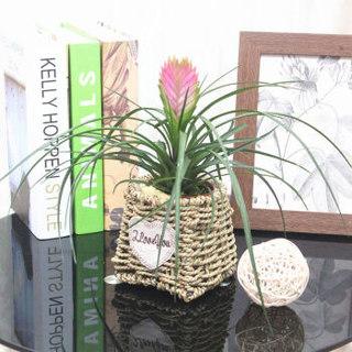 花七休 铁兰 手工草编花盆 花卉绿植盆栽 室内居家桌面阳台办公室绿植