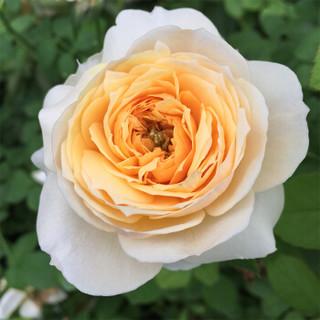 红豆(Hodo)朱丽叶 灌木月季花苗盆栽 包对版 庭院阳台玫瑰蔷薇花卉植物 1加仑中苗栽好发货