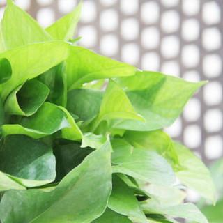 世纪奥桥 绿萝180# 观叶花卉绿植盆栽 室内居家阳台办公桌面花卉盆栽 含盆发货