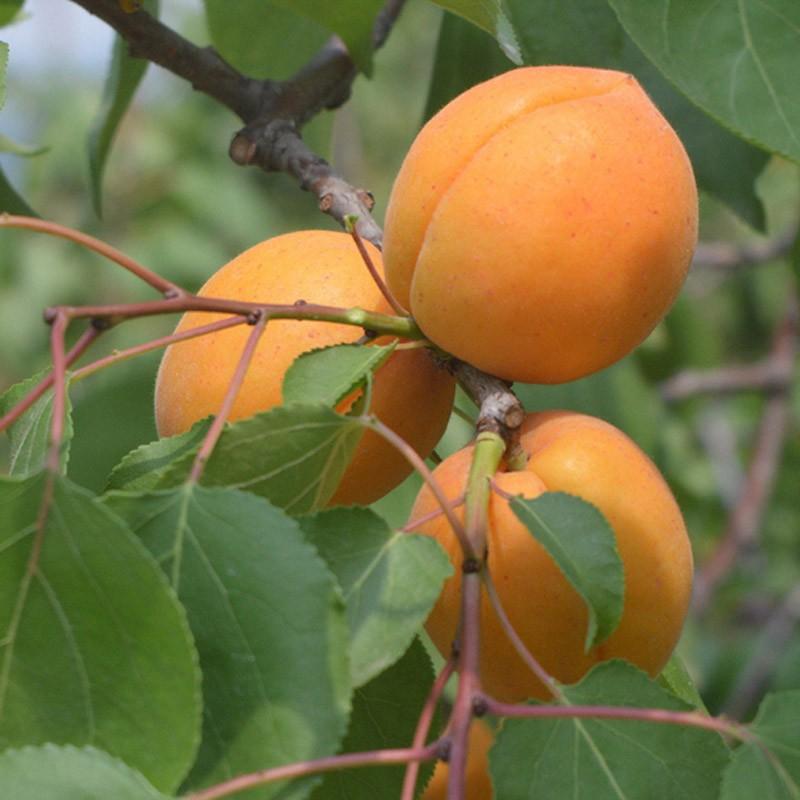 食时谷  大黄杏  5斤