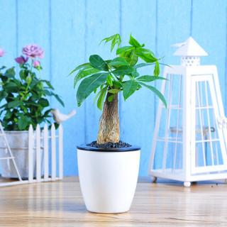 世纪奥桥 发财树观叶盆栽绿植 室内居家阳台办公室桌面净化空气花卉绿植