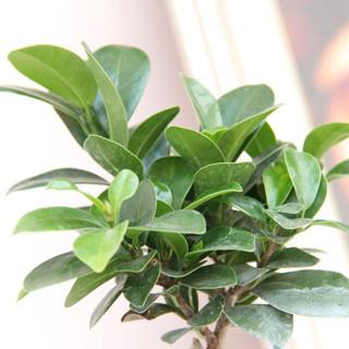 世纪奥桥 小榕树观叶盆栽绿植 室内居家阳台办公室桌面净化空气花卉绿植