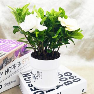 花七休 栀子花 白色印花陶瓷套盆 花卉绿植盆栽 室内居家桌面阳台办公室绿植
