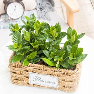 红豆(Hodo)栀子花 草编长盆 绿植盆栽办公室桌面室内居家阳台绿植花卉 带盆栽好