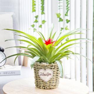 红豆(Hodo)小红星 草编圆盆 绿植盆栽办公室桌面室内居家阳台绿植花卉 带盆栽好