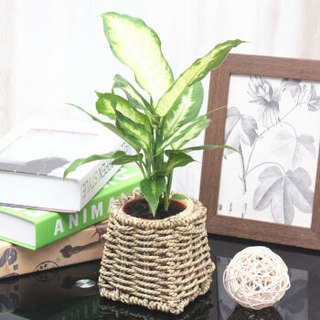 花七休 粉黛万年青 手工草编花盆 花卉绿植盆栽 室内居家桌面阳台办公室绿植