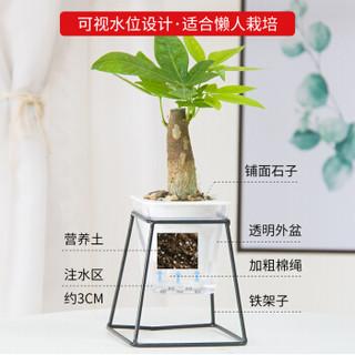 红豆(Hodo)幸福树 铁艺花架透明吸水盆绿植盆栽 办公室桌面室内居家阳台绿植花卉 带盆栽好