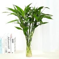 花语传情 水培富贵竹 60-70cm 8颗