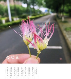 夏日的合欢花 以前一直以为可以用来当药材
