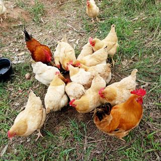 芮瑞 活杀整鸡 850g