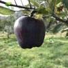 萌肉居 高原黑钻苹果