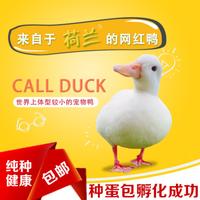 小黄鸭宠物吸鸭大白鸭子丑小鸭子活体已打疫苗儿童小朋友玩伴 柯尔鸭种鸭