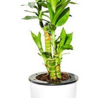 品盛 富贵竹 水培盆栽
