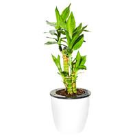 富贵竹植物转运竹水培盆栽节节高莲花竹植物 客厅四季 招财