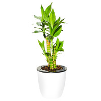 富贵竹植物转运竹水培盆栽节节竹富贵竹植物 客厅四季 招财