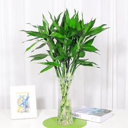 花语自由 富贵竹 60cm 8颗 送生根粉