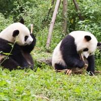 初游经典!成都-九寨沟+黄龙+都江堰+熊猫乐园6天5晚游